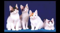 Japanese Bobtail Cat and Kittens | History of the Japanese Bobtail Cat B...
