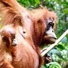 So Nahe an die Orag Utans ran zu kommen ... das haben wir echt nicht erwartet ... ein unglaubliches Erlebnis Orang Utan, Animals, Indonesia, Animales, Animaux, Animal, Animais