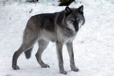 The most common color of a wolf is a grey coat with cream underfur, but wolves can be many different colors.