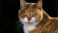 Zapatrzony, Kot, Rudo-biały