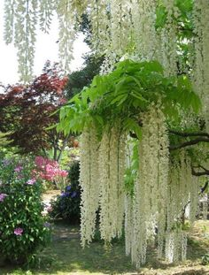 Beautiful white Wisteria! We had one  for years that grew up a pine tree. When we lost the pine tree in a hurricane, the wisteria continued to grow....It's still beautiful but now it's lavender.