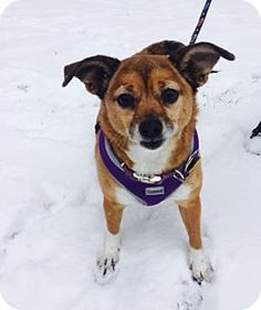 Mt. Pleasant, MI - Chihuahua Mix. Meet Ladybug, a dog for adoption. http://www.adoptapet.com/pet/17772753-mt-pleasant-michigan-chihuahua-mix