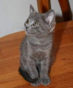 CHELSEA - Gato adoptado - AsoKa el Grande