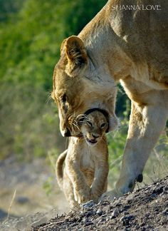 Africa Geographic magazine cover competition - Lion cub