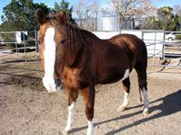 """Barbi was abandoned in a field after her long time owner was admitted to a retirement home. """"Rescued"""" by another woman, she was handed over to savinghorsesinc to save her from euthanasia. After a month or two of good feeding, Barbi has been taken in by Safe Haven Horse Rescue in Northern California."""