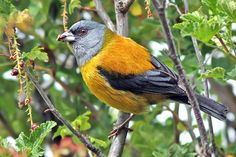 Photos of Tanagers / Fruteros - Thraupidae - Argentina