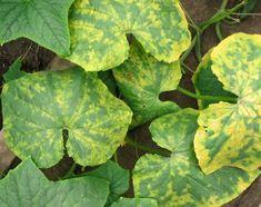 Вирус огуречной мозаики на листьях огурцов.