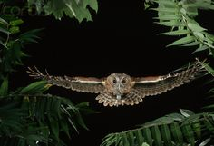Owls flying | Eastern Screech Owl Flying Through Trees - MD002196 - Rights Managed ...