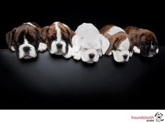 Boxers, best dogs ever!