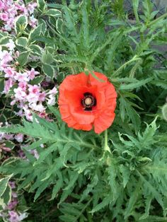 Oriental Poppy (papaver orientale): The fuzzy foliage and flower appear to be an Oriental Poppy, which is known for its richly colorful large flowers and rough, hairy foliage. Oriental, Large Flowers, Poppy, Colorful, This Or That Questions, Garden, Plants, Garten, Planters