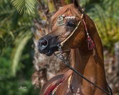 Montana Firenze - Rohara Arabians