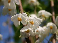 Schneeglöckchenbaum - Halesia monticola