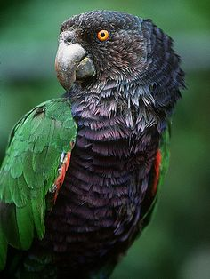 Imperial Amazon, or Imperial Parrot, or Dominican Amazon, or August Amazon, or Sisserou (Amazona imperialis)