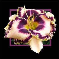 A Few Good Men  Description:    Peach with purple eye and edge above green throat. Rebloomer, Fragrant.