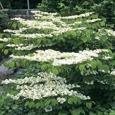 "Viburnum plicatum ""Lanarth"" Deciduous shrub with green foliage that turns red in autumn and white flowers, arranged in horizontal levels, borne in late spring. Outdoor Flowers, Viburnum, Plants, White Gardens, Garden Shrubs, Planting Shrubs, Moon Garden, Shrubs, Night Garden"