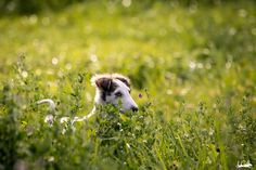 ❤ =^..^= ❤  Borzoi Daily.  This is a young puppy: his tail hasn't unfurled yet.