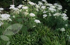 """Selinum wallichianum, """"the queen of all umbellifers, with its almost transparent tender green-ness and the marvellously lacy pattern of its large leaves . . . the most beautiful of all fern-leaved plants."""""""
