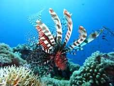 The Belize Barrier Reef Reserve System is home to an amazing 1400 different species including 500 types of fish and 100 corals. Belize Snorkeling, Belize Barrier Reef, Belize Resorts, Snorkelling, National Geographic, Voyage Philippines, Weather In Belize, Bali, Surf