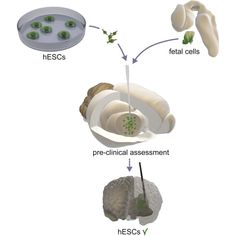 By Cell Stem Cell Summary Considerable progress has been made in generating fully functional and transplantable dopamine neurons from human embryonic stem cells (hESCs). Before these cells can be u...