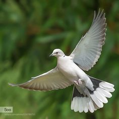 Superb Nature - Beauty in flight by Apollo Statue, Wings Drawing, Drawing Birds, Dove Wing, Animals And Pets, Cute Animals, Dove Pigeon, Detailed Paintings, Mourning Dove