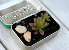 Post image for Guest Post: DIY Mini Succulent Garden In An Altoids Tin