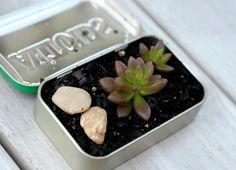 Guest Post: DIY Mini Succulent Garden In An Altoids Tin