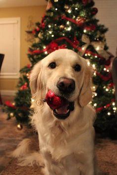 Merry Christmas! Golden retriever