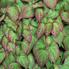 Epimedium- this is a great ground cover for the shade- I have this everywhere