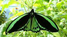 пеперуди видове - Google Търсене