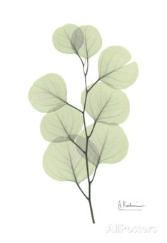 Eucalyptus in Pale Green Posters by Albert Koetsier at AllPosters.com