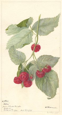 """Miller"" Raspberry (1895) by Deborah G. Passmore - Watercolor in the USDA collection at the National Agricultural Library in Beltsville, Maryland"