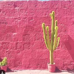 """04088f56f3d6 Caravan West on Instagram  """"Think pink today and Happy Wednesday!   plantsonpink  caravanwest  encinitas  boholuxe  home  fashion  decor"""""""