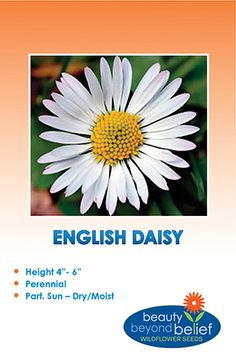 English daisies have white ray florets (often red tipped) coming off of a yellow central disk. This plant is also used in several homeopathic remedies.