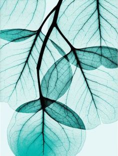 Teal Eucalyptus Art Poster Print by Albert Koetsier, Teal Colors, Colours, Shades Of Turquoise, Teal Blue, Turquoise Art, Light Turquoise, Pink Black, Blue Aesthetic, Watercolor Flowers