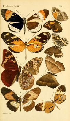 Exotische Lepidopteren