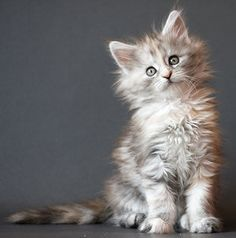 squee! http://www.mainecoonguide.com/where-to-find-maine-coon-kittens-for-sale/