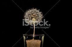 #DandelionClock #Close-Up In #Glass On #Black #Background @iStock #iStock #spring #season #flowers #flowerpower #concept #macro #details #yellow #seeds #stock #photo #portfolio #download #hires #royaltyfree