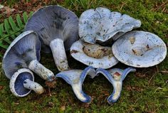The Indigo Milk Cap (Lactarius indigo) is entirely blue to blue-gray, sometimes with greenish stains when old. When broken, it oozes indigo blue latex, which turns gradually greenish when exposed to air. It grows on the ground, typically in oak or pine woods. This mushroom has a broad geographic distribution, occurring throughout eastern North America and from Arizona to Mexico, but is most common along the Gulf Coast of the southeastern United States and in Mexico.