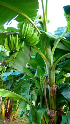 Banana plantation, want to grow them