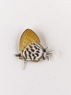 Drupadia ravindra, hairstreak butterfly, dried specimen