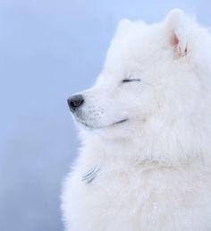 beautiful pic of a samoyd