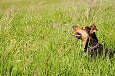 Fun in the sun! Doberman Shepherd, Lion, Dogs, Pictures, Animals, Leo, Animais, Lions, Animales
