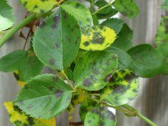 DIY Anti-Fungal Spray for Black Spot on Roses