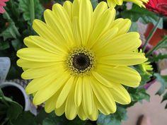 Sunny yellow Gerbera