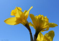Daffodils by Lisa Holder NC, via Flickr