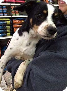 Pompton Lakes, NJ - Hound (Unknown Type) Mix. Meet Hunter, a dog for adoption. http://www.adoptapet.com/pet/12683591-pompton-lakes-new-jersey-hound-unknown-type-mix