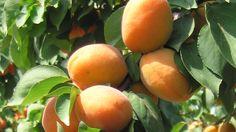 Gommosi dell'albicocco: come curare la pianta #agricoltura #bio #piante #howto #comefare #albicocca #frutta