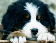 Cute Bernese Mountain Dog Puppies | My Future Dog - Bernese Mountain Dogs