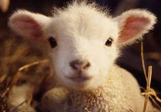 Cute lamb baby