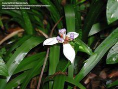 Full size picture of Walking Iris, Apostle Plant (Neomarica gracilis)